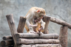 Mother Monkey and Son Stock Photography