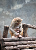 Mother Monkey and Son Royalty Free Stock Images