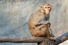 Mother monkey on a tree branch. Stock Image
