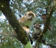 Mother monkey and two babies monkeys. stock photos