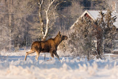 Mother Moose in the backyard royalty free stock photo