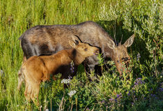 Mother Moose and Calf Royalty Free Stock Photos