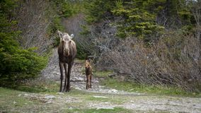 Mother moose and calf walking down trail in woods stock image