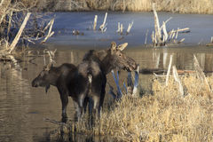 Mother moose guarding calf moose Stock Images