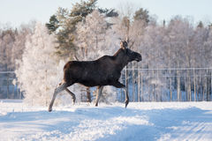 Mother Moose Trotting in snow Stock Photos
