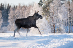 Mother Moose Trotting in snow Stock Photo