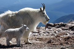 Mother mountain goat with baby Royalty Free Stock Images