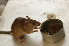 Mother Mouse Watching her Little Pup Eating Rice Inside Tin Can royalty free stock image