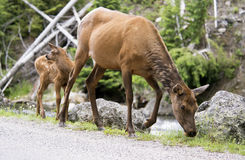 Mother Mule Deer and baby fawn. Stock Image