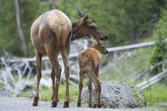 Mother Mule Deer with small calf. Royalty Free Stock Photos