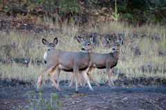 Mother mule deer and two fawns Stock Images