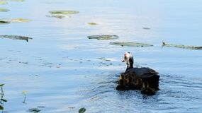 Mother Muscovy duck 5 ducklings Royalty Free Stock Photos