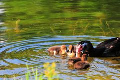 Mother Muscovy Duck & Ducklings Royalty Free Stock Image