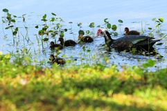 Mother Muscovy duck & ducklings Stock Images