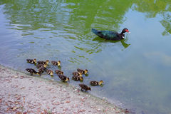 Mother Muscovy duck and kid Stock Photography