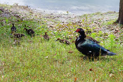 Mother Muscovy duck and kid Royalty Free Stock Photography