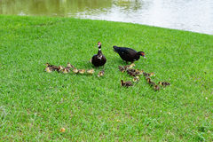 Mother Muscovy duck and kid Stock Images