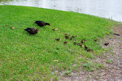 Mother Muscovy duck and kid Stock Photos
