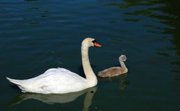 Mother mute swan with cygnet. Stock Photography