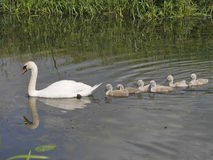 Mother Mute Swan leading six baby Signets on River. Six baby signets very close to mother. Good feather detail showing water droplets. Mother leading the way Royalty Free Stock Photo