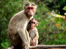 Mother n' Baby. An Indian monkey mother with her baby Stock Image