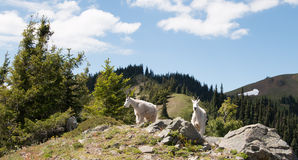 Mother Nanny Goats on Hurricane Hill in Olympic National Park in Washington State Stock Photos