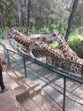 Mother nature. Beautiful african giraffs Stock Photo