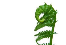 Mother Natures Springtime New Growth Fern Curl. A fresh springtime fern still curled and steadily growing to begin its summer long journey of growth showing Royalty Free Stock Photo