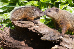 Mother and newborn groundhogs. By log royalty free stock photos