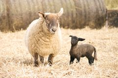 Mother and newborn lamb. A bit unsteady on his feet a newborn lamb looks to his mother for help Royalty Free Stock Images