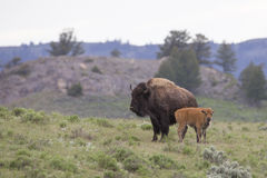 Mother and newly born buffalo in Wyoming Stock Photo