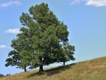 Mother oak hides her two small children on a bright and sunny day in early summer. Blue sky, warm, white clouds, green Royalty Free Stock Photography
