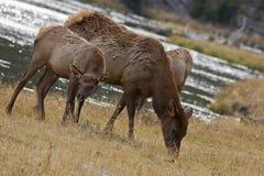 Mother och behandla som ett barn älgen, den Yellowstone parken, Wyoming Royaltyfria Bilder