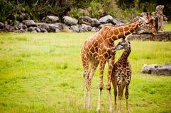 Mother och behandla som ett barn giraffet Royaltyfria Bilder