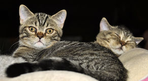 Mother and offspring. Sleeping cats - mother and offspring Royalty Free Stock Images