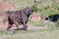 Mother Olive, or Savanna, Baboon Carrying Baby Royalty Free Stock Image