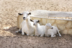 A mother Omani goat with kids Stock Photo
