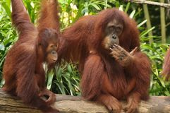 Mother Orang Utan and its baby in Singapore Zoo. The potrait of a mother orang utan in Singapore Zoo, sitting on a plank of wood Royalty Free Stock Photography