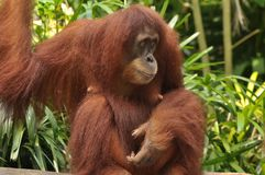 Mother Orang Utan in Singapore Zoo. The potrait of a mother orang utan in Singapore Zoo, sitting on a plank of wood Stock Photos