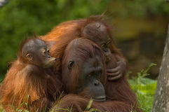 Mother orangutan and babies Royalty Free Stock Image