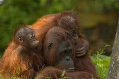 Mother orangutan and babies Royalty Free Stock Image