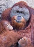 Mother orangutan with baby. Mother orangutan holding her cute baby Stock Photos