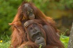 Mother orangutan and baby stock photos