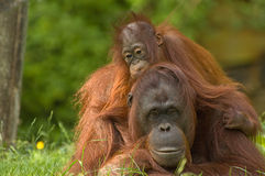 Mother orangutan and baby Royalty Free Stock Photography