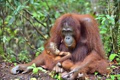 Mother orangutan and cub in a natural habitat. Bornean orangutan Pongo pygmaeus wurmbii in the wild nature. Rainforest of Island Borneo. Indonesia royalty free stock photo