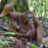 Mother orangutan and cub in a natural habitat. Bornean orangutan Pongo  pygmaeus wurmbii in the wild nature. Rainforest of Islan Royalty Free Stock Photos