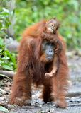Mother orangutan and cub in a natural habitat. Bornean orangutan Pongo  pygmaeus wurmbii in the wild nature. Rainforest of Islan Royalty Free Stock Photography