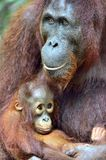 Mother orangutan and cub in a natural habitat. Bornean orangutan Pongo  pygmaeus wurmbii in the wild nature. Rainforest of Islan Royalty Free Stock Images