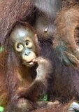 Mother orangutan and cub in a natural habitat. Bornean orangutan Pongo  pygmaeus wurmbii in the wild nature. Stock Image