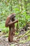Mother orangutan and cub in a natural habitat. Bornean orangutan Pongo  pygmaeus wurmmbii in the wild nature. Rainforest of Isla. Nd Borneo. Indonesia Stock Photo